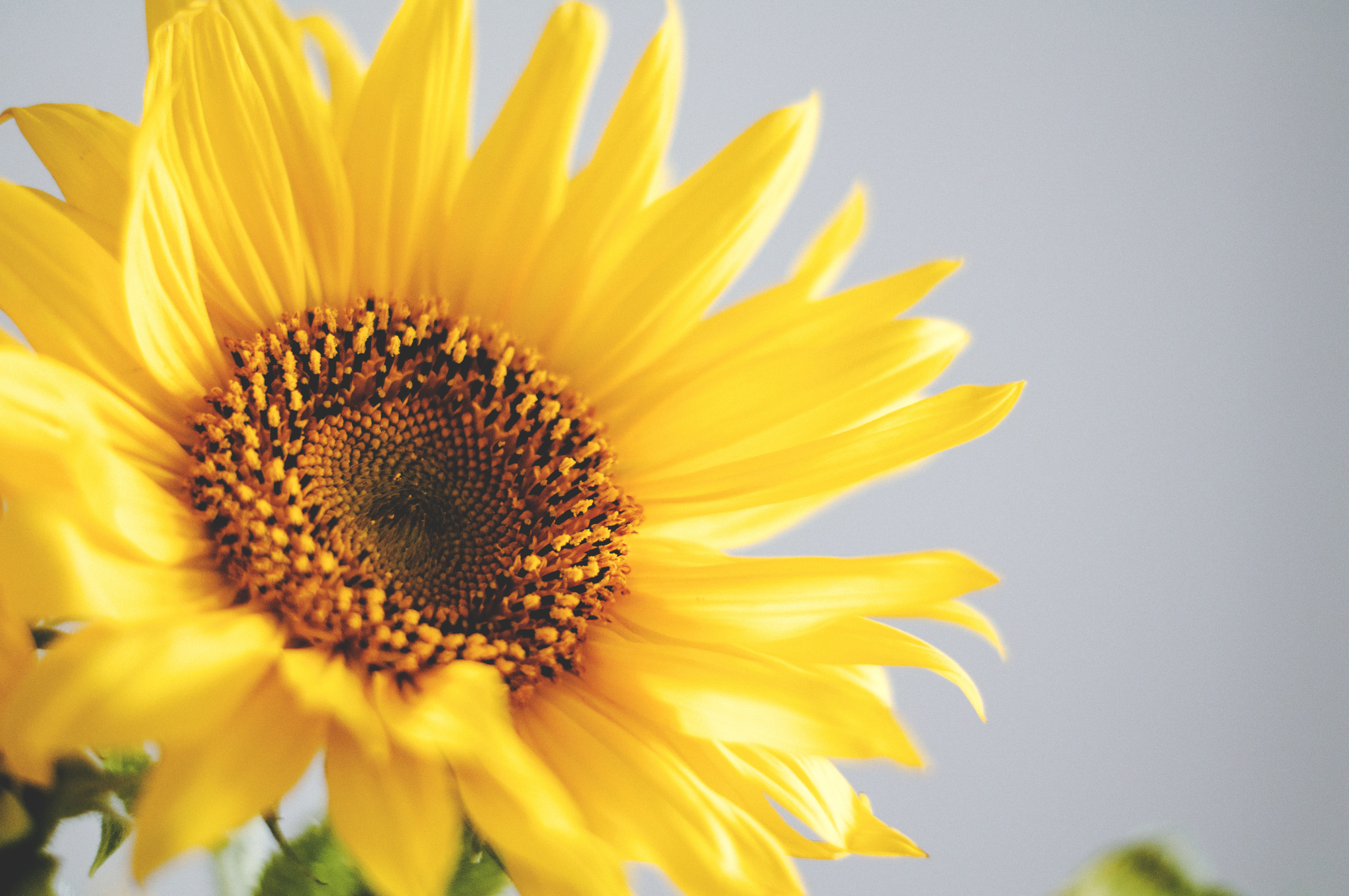 Free Stock Photo Of Nature Flower Flora Sunflower