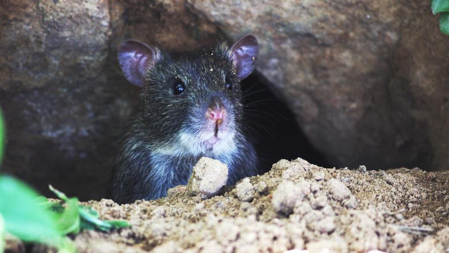 rat control santa clarita