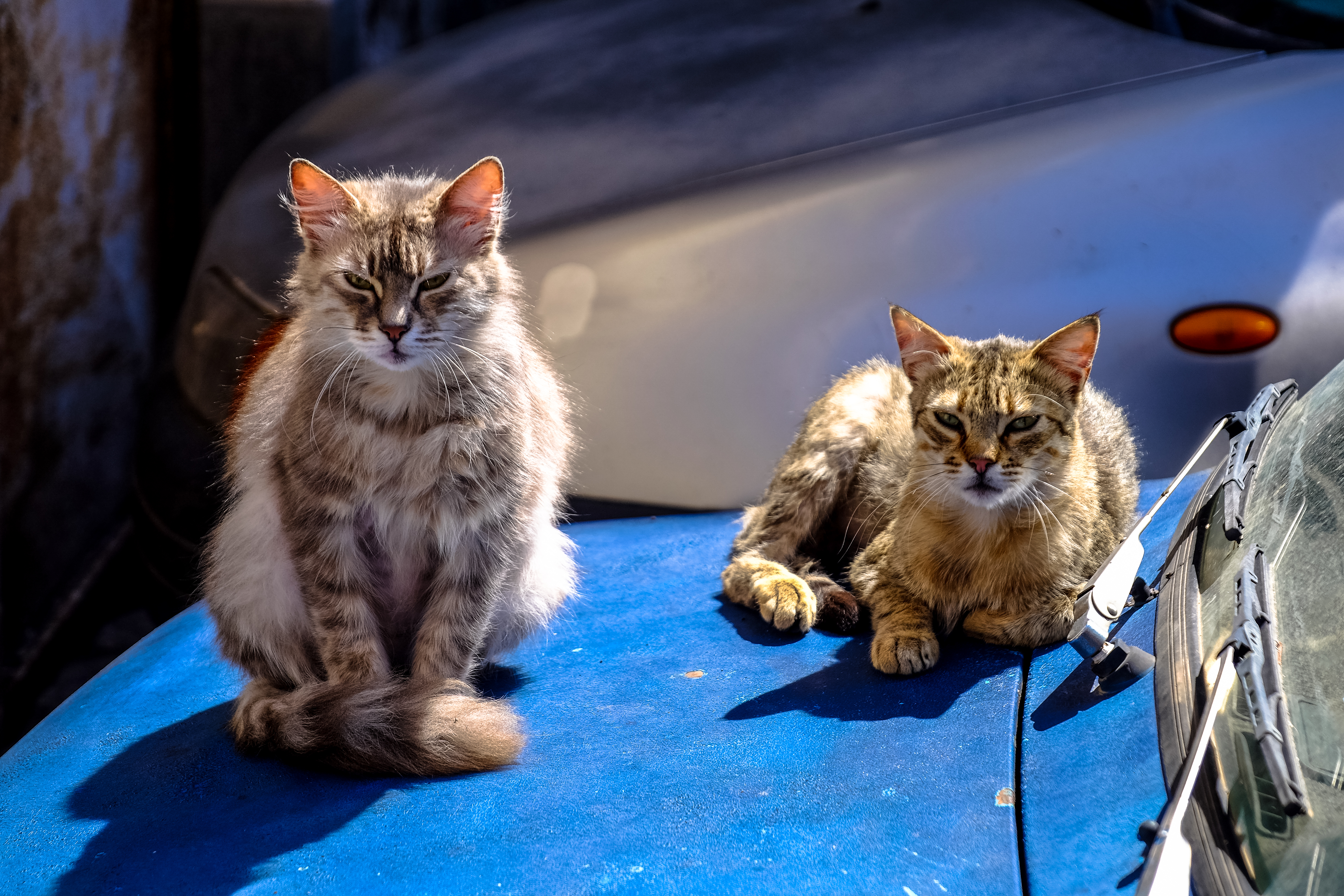 Tortoiseshell Cat With Brown Maine Coon Cat · Free Stock