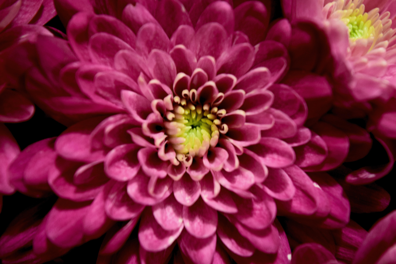 Free stock photo of flower macro pink