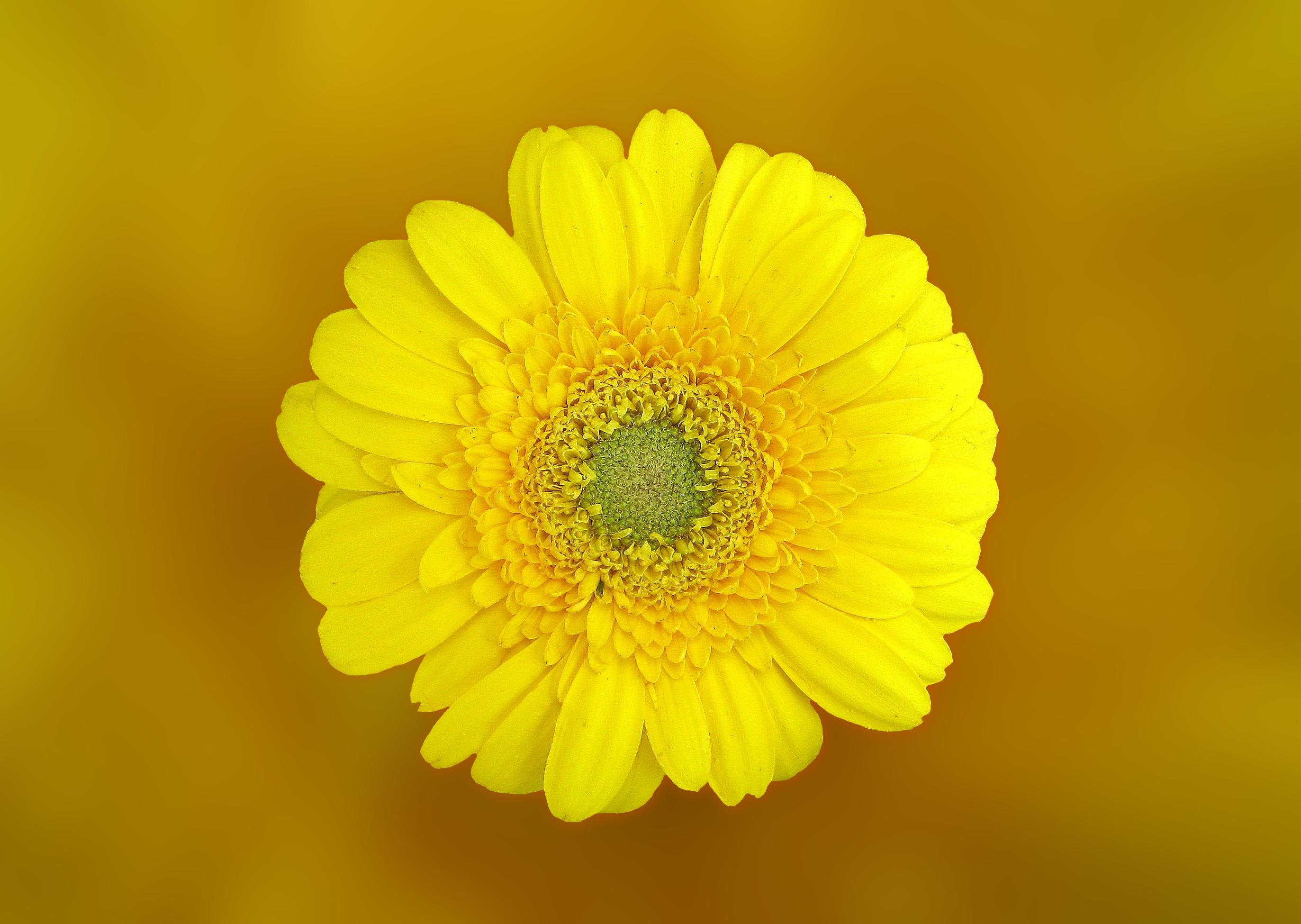 yellow daisy in macro shot · free stock photo, Beautiful flower