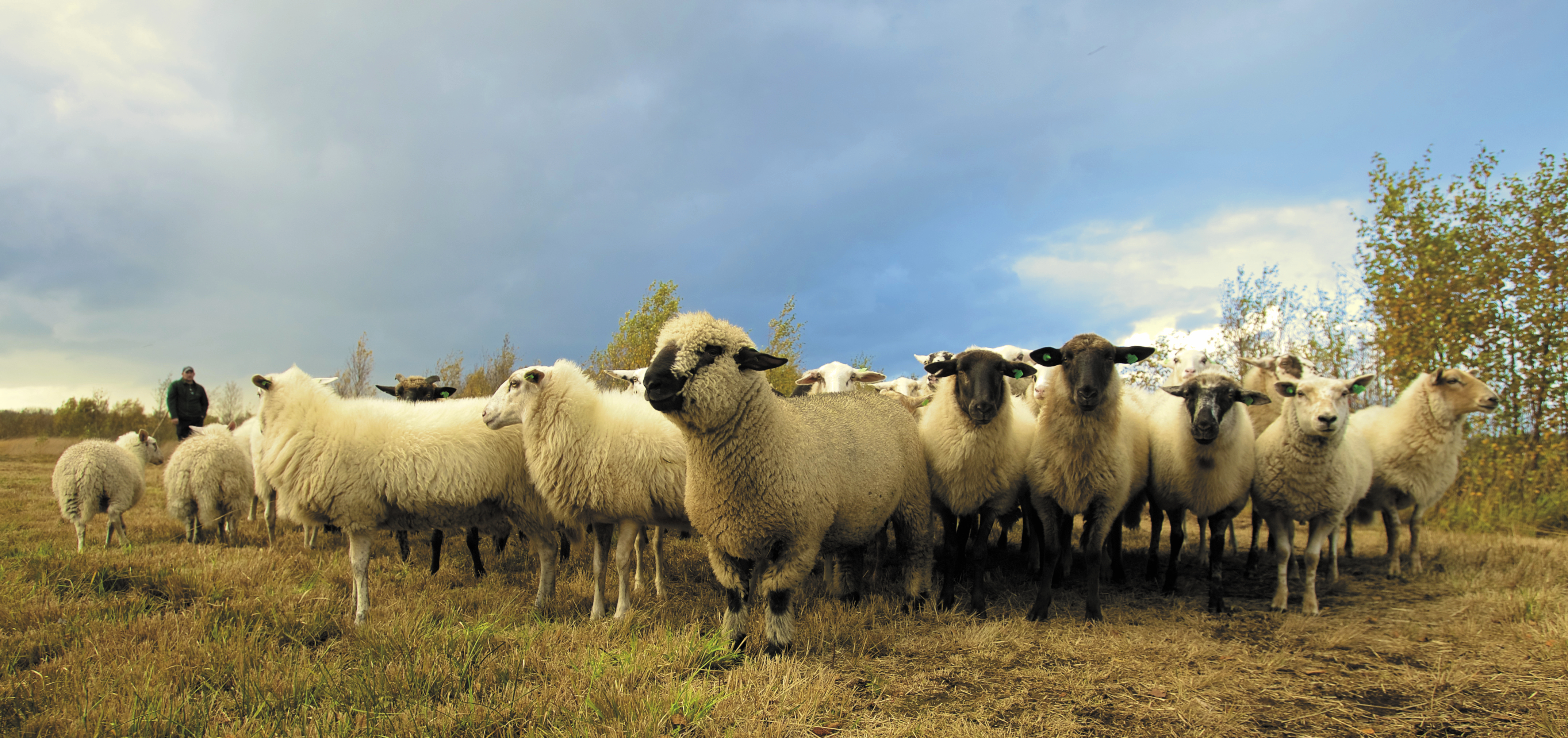 sheep pictures pexels free stock photos