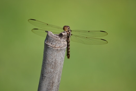Free stock photo of animal, insect, macro, dragonfly
