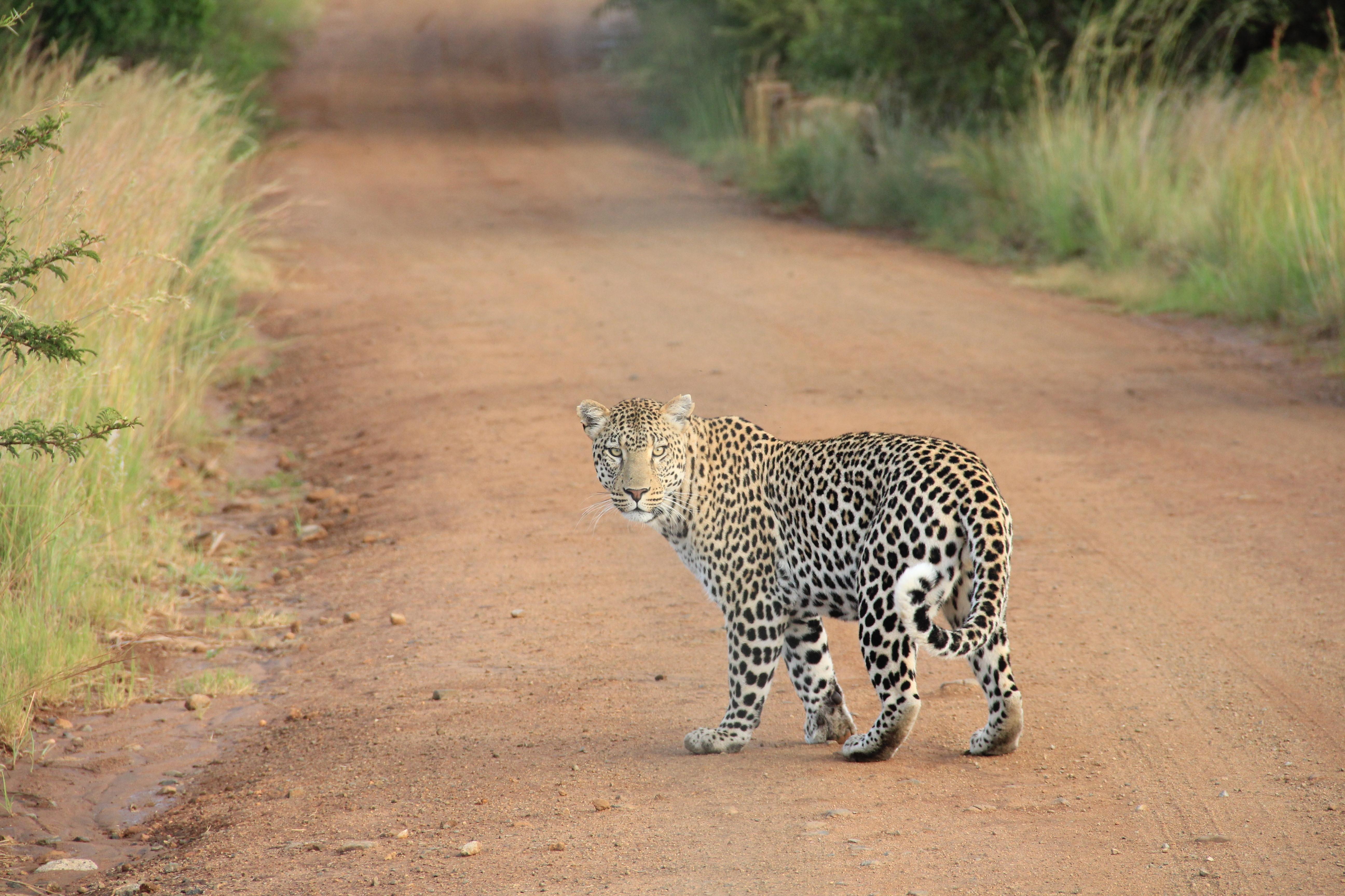 Africa Animal Cat Dangerous Leopard Nature