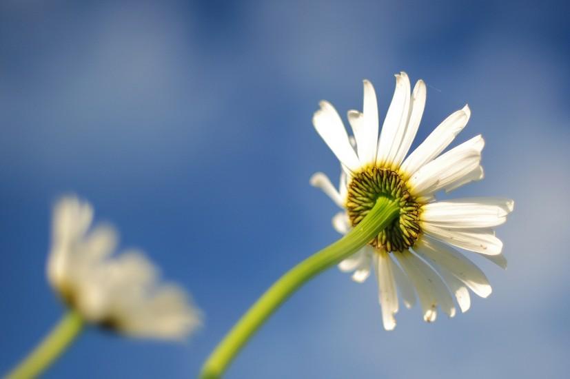 Blur, Flower, Lawn, Marguerites, Nature, Oxeye Daisies