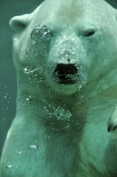 Animal, Bear, Coucou, Ocean