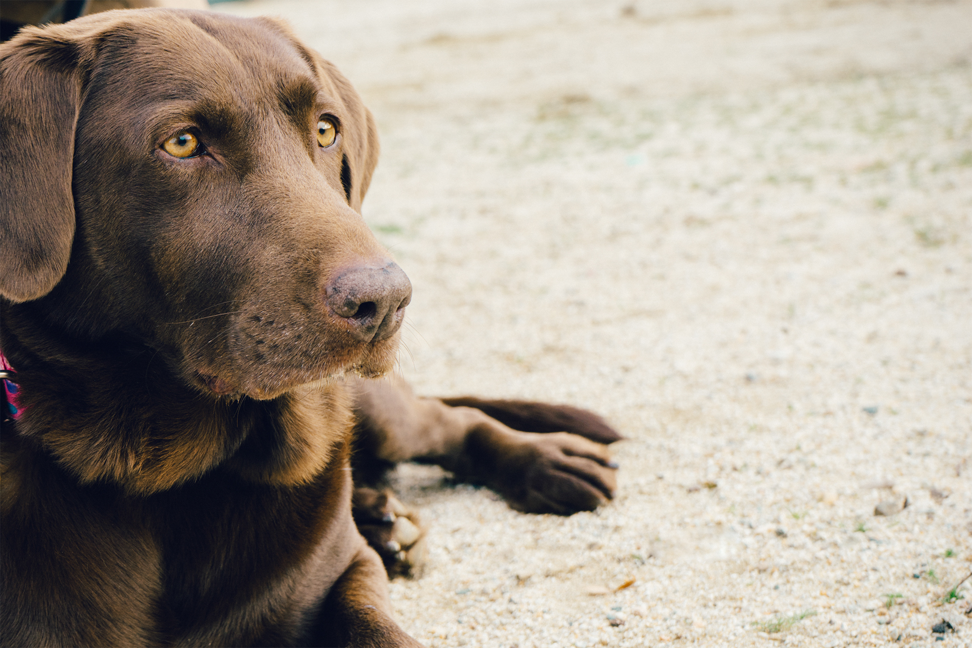 Animal Brown Dog Labrador Pet · Free Photo