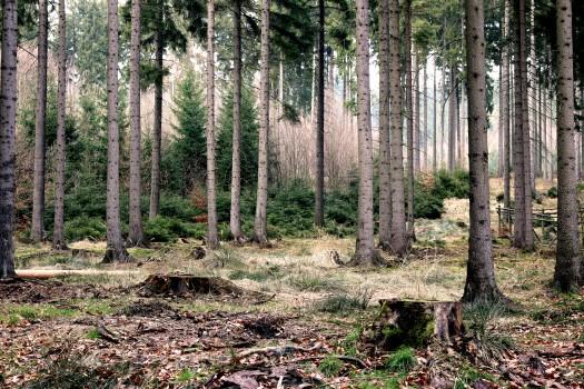 Autumn, Fall, Firs, Forest