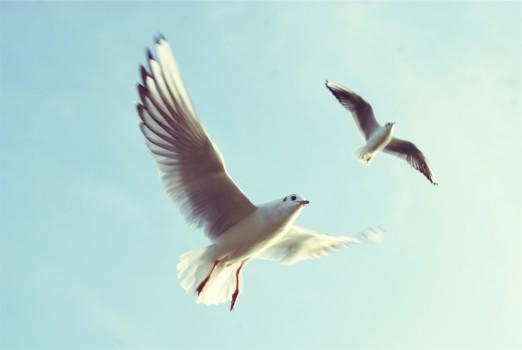Animals, Birds, Flying, Seagulls
