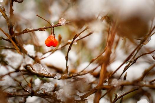 Branches, Bush, Nature, Snow